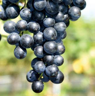 S e tafeltrauben teil 1 kleingarten magazin for Weintrauben im garten anbauen