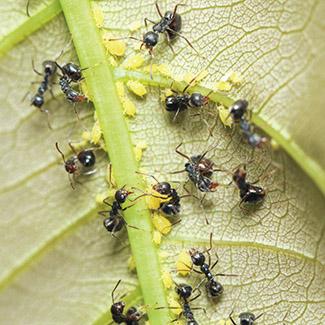 Eine Ihrer Störenden Eigenschaften Ist, Dass Sie Blattläuse Züchten.  (Bild:Shutt