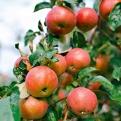 Die ersten Äpfel sind jetzt erntereif. <br />(Bild: shutterstock.com/KristinaSh)