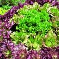 Nutzen Sie die große Palette des Salatsortiments! Für mehr Vielfalt im Garten und in der Küche. (Foto: Angelika Feiner)