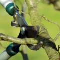 Nach dem Pflanzenschnitt erfolgt fünf bis acht Jahre lang der Erziehungsschnitt. Ziel ist eine lichte Baumkrone.