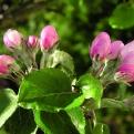 Frostspanner auf Apfelblüte