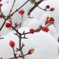 Winterschneebälle treiben auch in der kalten Jahreszeit reichlich Blüten.