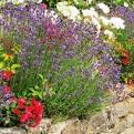 Lavendel mag einen sonnigen Platz (Bild: Brunhilde Bross-Burkhardt)