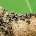 Ameisen sind auf ihren Straßen oft in großen Mengen unterwegs.