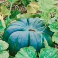 Der Muskatkürbis ist ein guter Speisekürbis mit einer langen Kulturdauer. (Bild: Shuterstock.com/Fotocute)