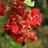 Die Früchte der Japanischen Weinbeere laden zum Naschen direkt von der Pflanze ein.