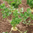 Bei Knollensellerie und anderen robusten Arten beginnt die Ernte erst ab Ende Oktober.