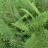 Filigranfarn (Polystichum setiferum)