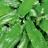 Hirschzungenfarn (Phyllitis scolopendrium)